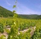 Nos vignes en été